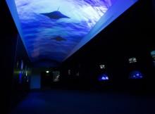 raie_mantaccbreschi_aquarium-larochelle